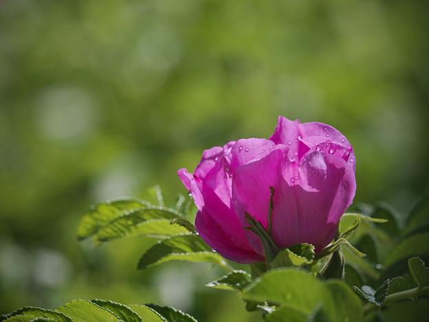 160529_箱根湿生花園_着露花<ハマナス>_F52994836_MZD300P_X6As