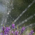 Photos: 160812_山梨県立フラワーセンター「ハイジの村」_散水<?>_F812A9807_MZD300P_X6As