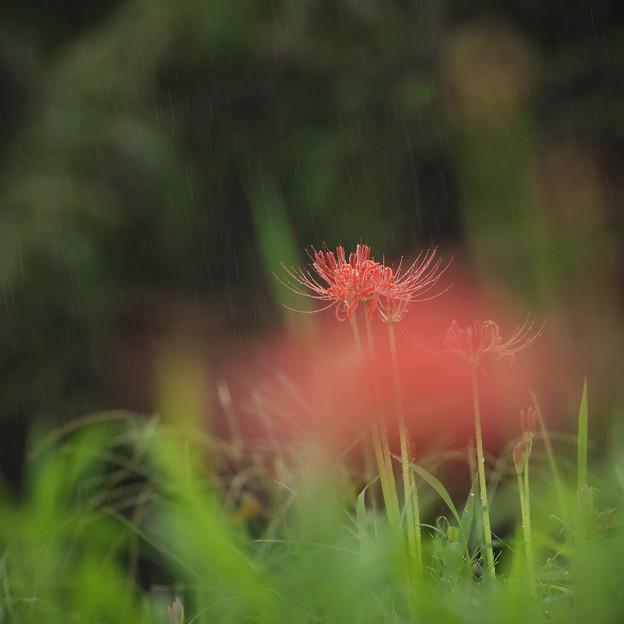 160919_伊勢原・日向_降雨<ヒガンバナ>_F919B3623_MZD300P_X7As