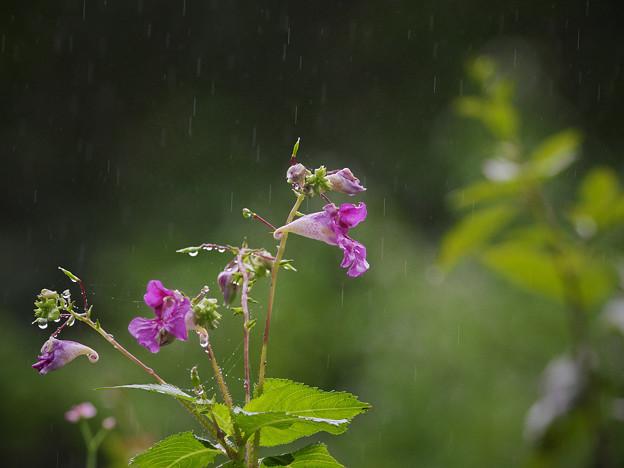 160914_相模原市緑区・篠原の里_降雨<ツリフネソウ>_E91446206_B36ED_1.1xDG_F6.1_X7As