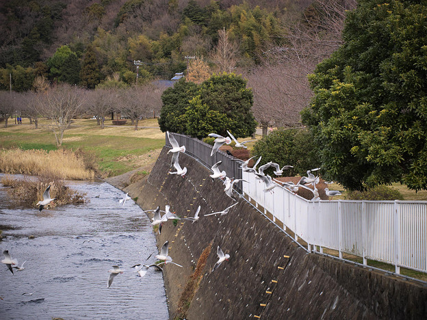 Photos: 170115_藤沢・引地川親水公園_飛翔<ユリカモメ>_F170115D2715_MZD60M_X7Ss