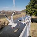 Photos: 170118_藤沢・引地川親水公園_羽ばたき<ユリカモメ>_G170118A8719_MZD12ZP_X7Ss