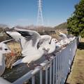 Photos: 170118_藤沢・引地川親水公園_羽ばたき<ユリカモメ>_G170118A8897_MZD12ZP_X7Ss