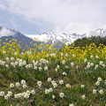 写真: 中央アルプスと春の花
