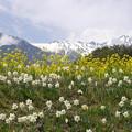 中央アルプスと春の花