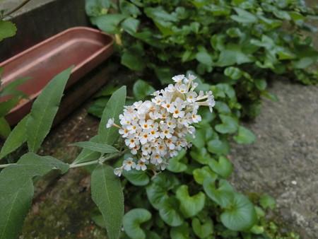 ミニブッドレア、続々開花