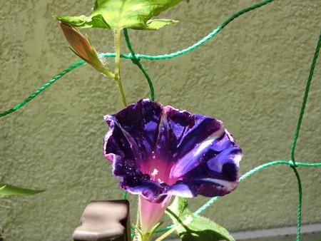 続々と開花するアサガオ
