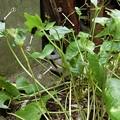 Photos: ツマグロヒョウモンの幼虫、大発生2