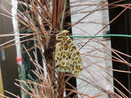 寒空に羽化したツマグロヒョウモン