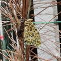 Photos: 寒空に羽化したツマグロヒョウモン