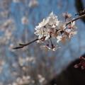 Photos: しだれ桜.2