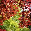 紅葉の新緑2