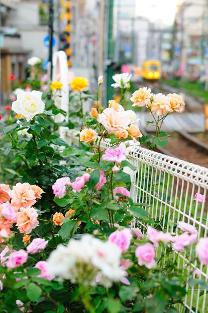 大塚薔薇祭り開催中