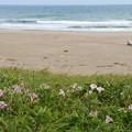 浜昼顔の咲くロングビーチ