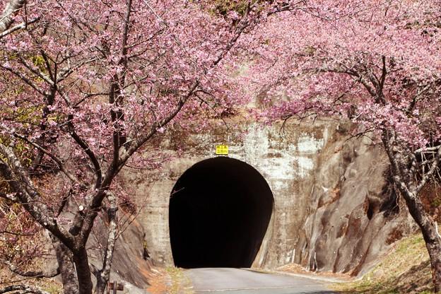 河津桜のトンネルから芳ヶ入トンネルへ