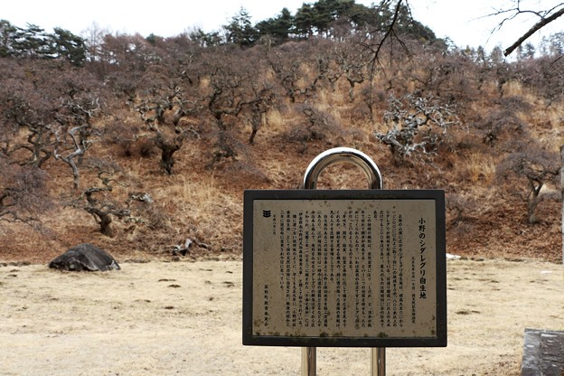 小野のシダレグリ自生地