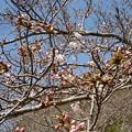Photos: 17年4月3日の桜1
