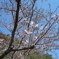 Photos: 17年4月3日の桜3