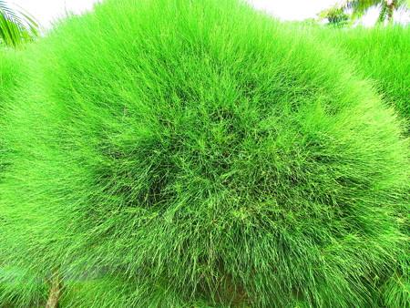 巨大緑喜屋武玉
