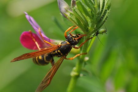 スズメバチ科 フタモンアシナガバチ♀