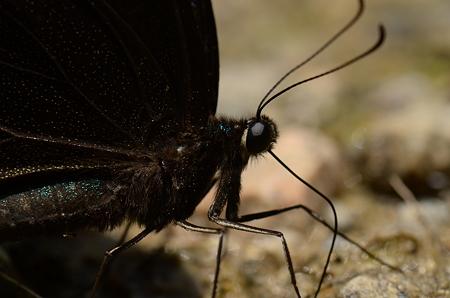 アゲハチョウ科 カラスアゲハ♂
