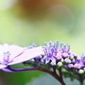 ~ガク紫陽花~