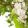 Photos: 終わりかけのフラワリングペアツリーの花♪