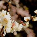 Photos: 瑞泉寺の梅