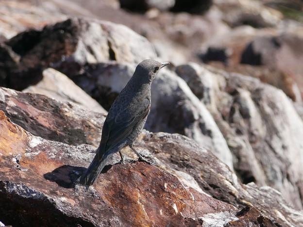 写真: イソヒヨドリ♀(Blue rock thrush) P1080816_RS