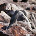イソヒヨドリ♀(Blue rock thrush) P1080816_RS
