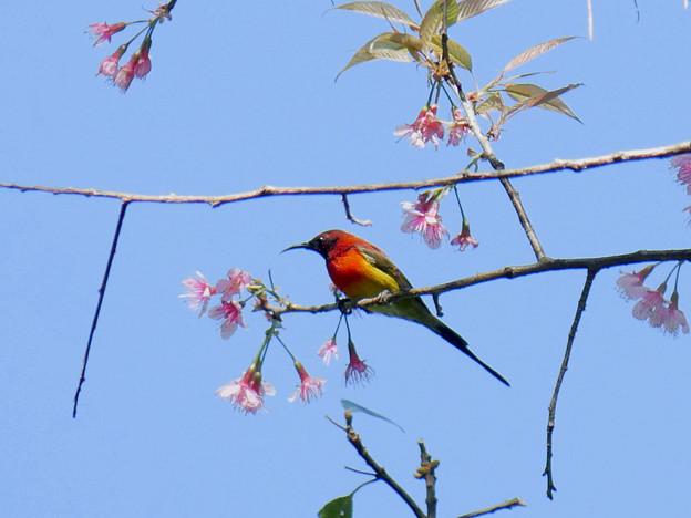 写真: ルリオタイヨウチョウ(Gould's Sunbird) P1090612_RS