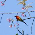 ルリオタイヨウチョウ(Gould's Sunbird) P1090612_RS