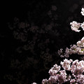 写真: 月と桜 - Collaboration with moon and cherry blossoms -