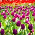 チューリップ A tulip