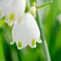 スノーフレーク A spring bell
