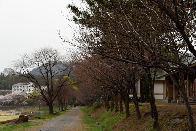 みなかみ諏訪峡付近の桜