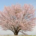 白馬村の桜巡り(野平の桜)