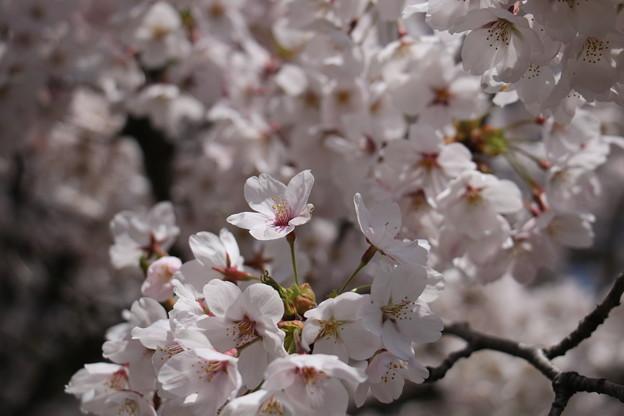2015年春 桜