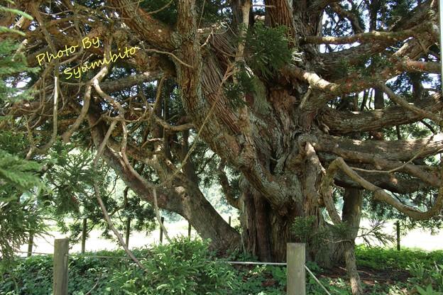 トトロの木 (2)