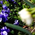 八重咲水仙とパンジー