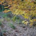 Photos: 黄色い楓