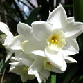 写真: 庭の春スイセン