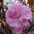 私の出番 八重桜