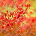 写真: 満天星の紅葉