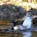 写真: オオタカの水浴び