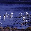 写真: 多摩川の鷺
