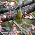 写真: 大寒桜とメジロ
