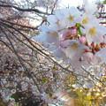 写真: 桜祭り