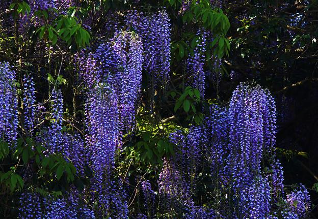 藤の花4-2