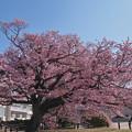 寒桜・1-1